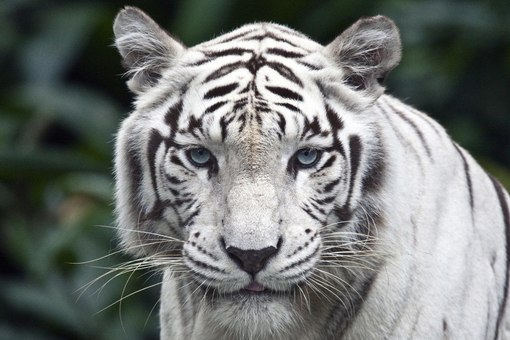 """Предпросмотр схемы вышивки  """"Белый тигр """" ."""