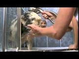 Водные процедуры для мини-пига #минипиг #поросёнок