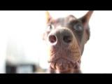 собака попрошайка (Доберман Джаз,10 мес.)