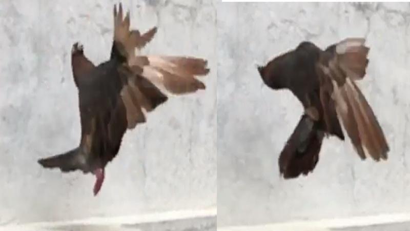 Roller pigeon part 5 || Amazing tumbler pigeon stunts || paltimaar girebaaz kabootar || NEEL BIRDS