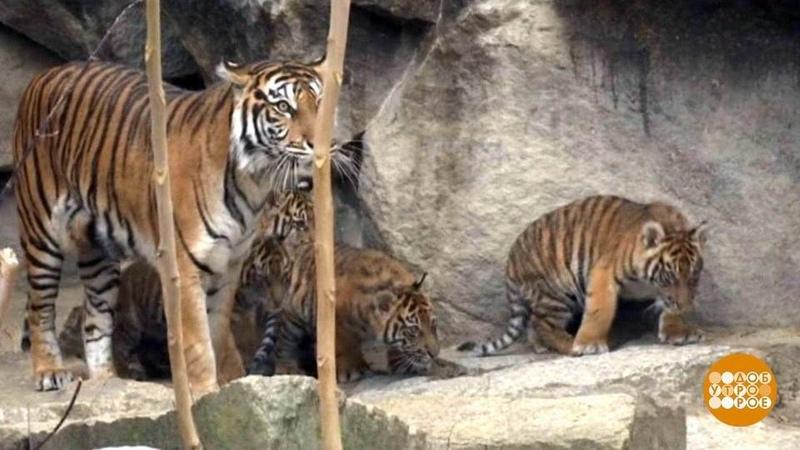 Вмире. Суматранские тигрята. Доброе утро. Фрагмент выпуска от06.12.2018