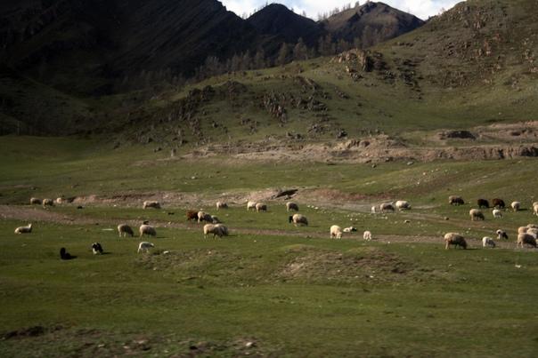 Вдоль дорог пасутся овцы. Овцы тоже полу-дикие. Чабанов не видно и гид говорил, что их по сути нет. Коммунизм какой-то — жудое не воруют.