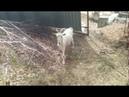 Коза родила.Чем кормить козу после окота/жизнь в деревне