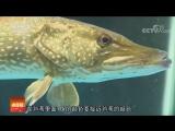 Щука ''Гоу Юй'' (шальная, сумасшедшая рыба), или ''БайБань ГоуЮй'' (белопятнистая щука, обыкновенная щука, лат. Esox lucius). ''