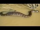Самая большая в мире змея - Анаконда - National Geographic документальные фильмы