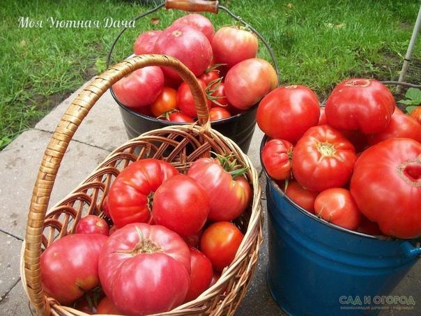50-60 помидоров с куста один куст помидоров можно выращивать на двух корнях, и место экономится, и урожай будет обильнее. я, например, получил с одного такого куста до 50-60 помидоров. сорт при