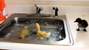 Baby Ducks Diving In The Sink LMAO p1