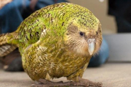 Какапо — сова-попугай