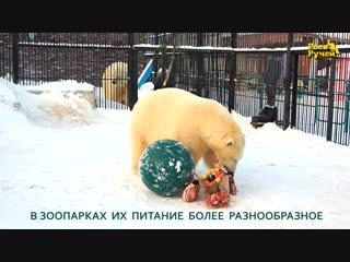 Рацион белых медведей