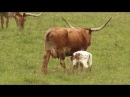 Cattle Ranching - Americas Heartland Episode 917