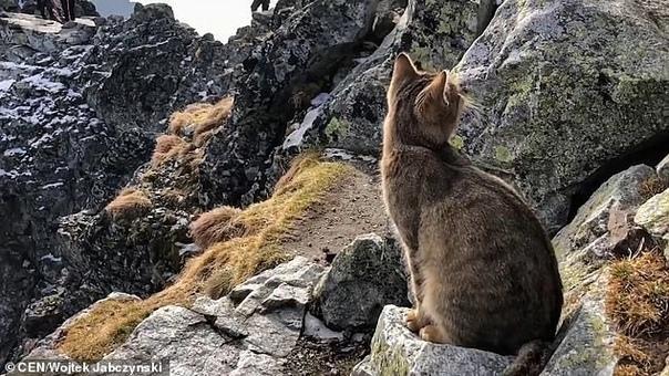 Альпинист обнаружил домашнего кота на вершине самой высокой горы в Польше Альпинист Войцех Ябчинский совершил восхождение на вершину горы Рысы, которая является самой высокой точкой Польши, и