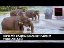 Почему слоны болеют раком реже людей