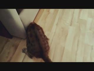 Котик даже породистый - любит необычные игрушки)