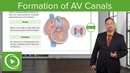 Formation of AV Canals Embryology Lecturio