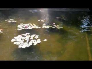 кувшинки НИМФЕЯ водяная лилия розовая и белая в ландшафтном дизайне пруд mood garden