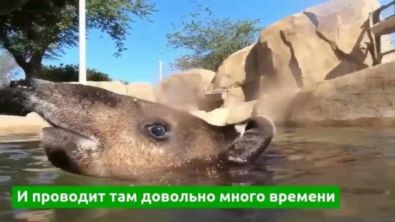Появилось видео купания детеныша тапира