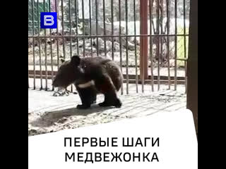 Первые шаги медвежонка