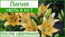 Лилии после цветения, хранение луковиц лилий