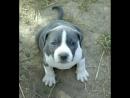 Стаффордширский терьер - Super American Staffordshire Terrier !
