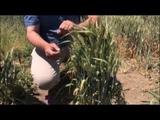 73 колоска из одного зерна пшеницы Встреча с ноутильщиками