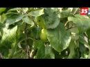 Яблочный спас будем отмечать в этом году без яблок