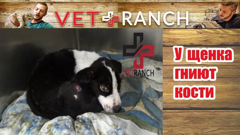 Vet Ranch на русском - У щенка гниют кости / Her Bone is Rotting