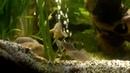 Corydoras Sterbai beim laichen