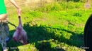 Львы сбежались на мясо Тайган Крым Lions ran into the meat Taigan Crimea