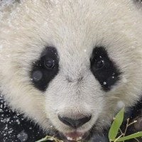 PandaprazdnikPanda
