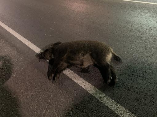 На Старо-Приозерском шоссе, Лупполово. Сбили лесного хряка, прямо у Neste.