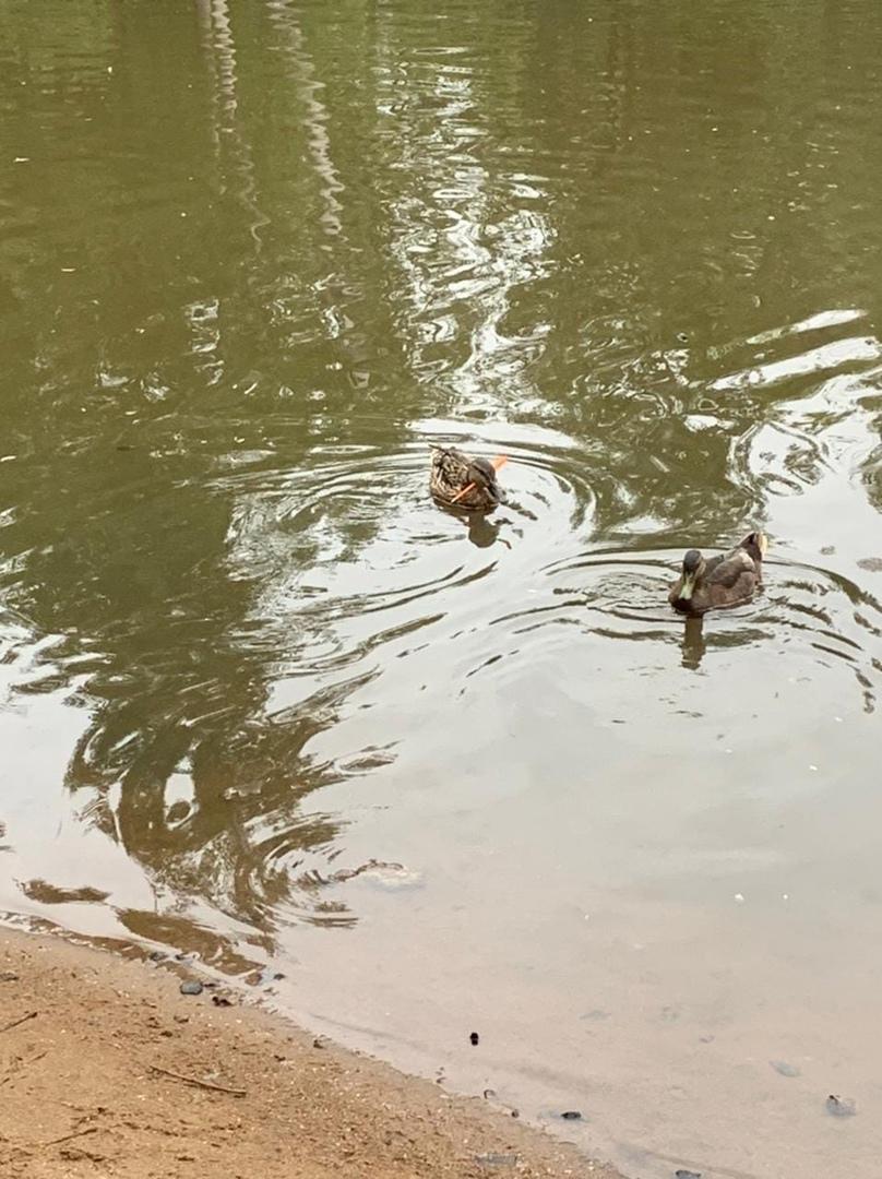 В озере, что на пересечении Садочной и Афанасьевской улиц, плавает утка с дротиком в шее. Как помочь...