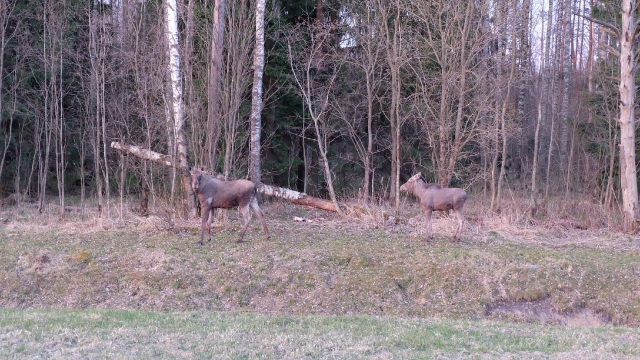 Сегодня утром на 6-7 км КАД были замечены лоси.