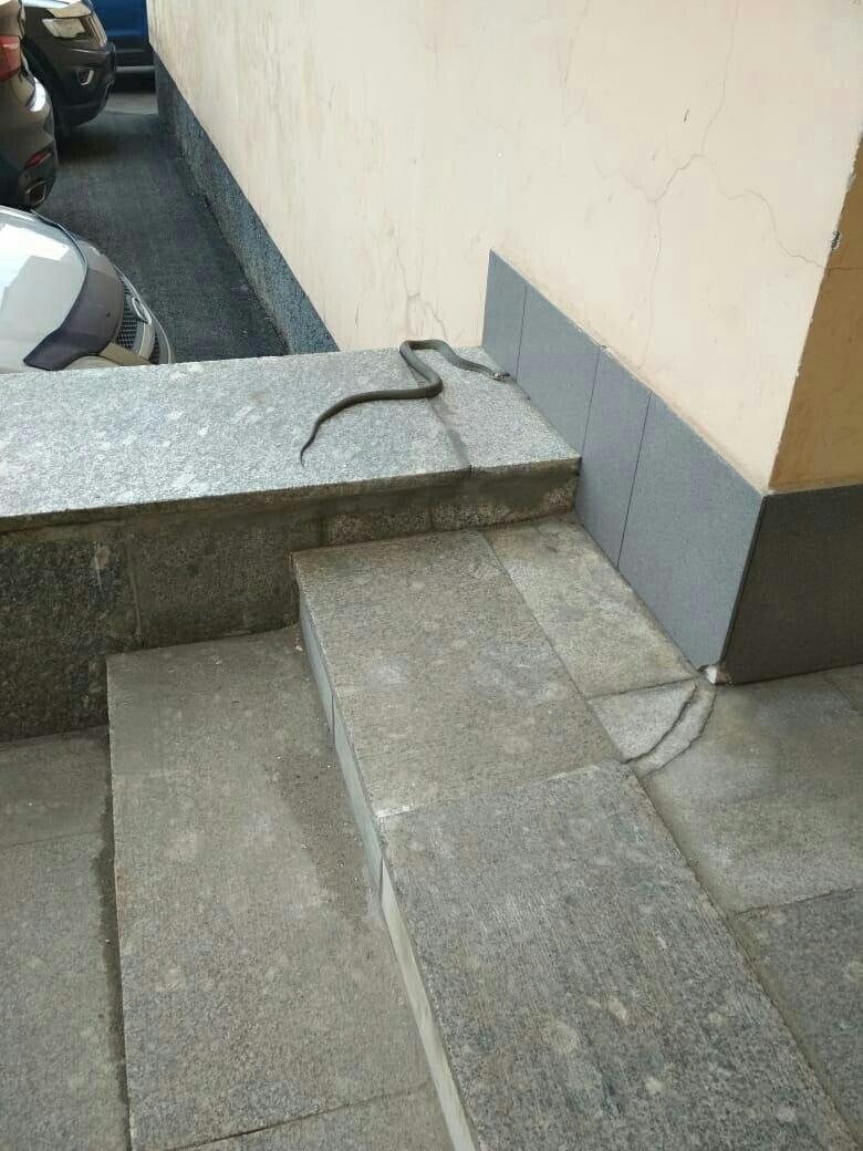 На пороге дома на Московском проспекте была замечена змейка Хвостоголовую поймал сотрудник институт...