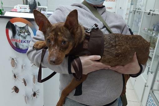 Месяц назад в Приморском районе убежала собака. Девочка, небольшого роста, рыже-шоколадного цвета ...