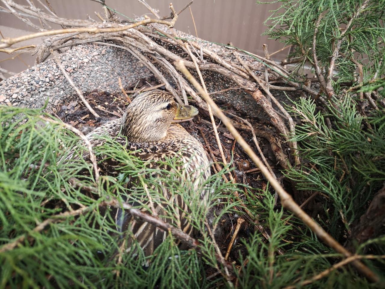 Прямо около одной из станций петербургского метро утка кряква свила гнездо в клумбе, и начала насижи...