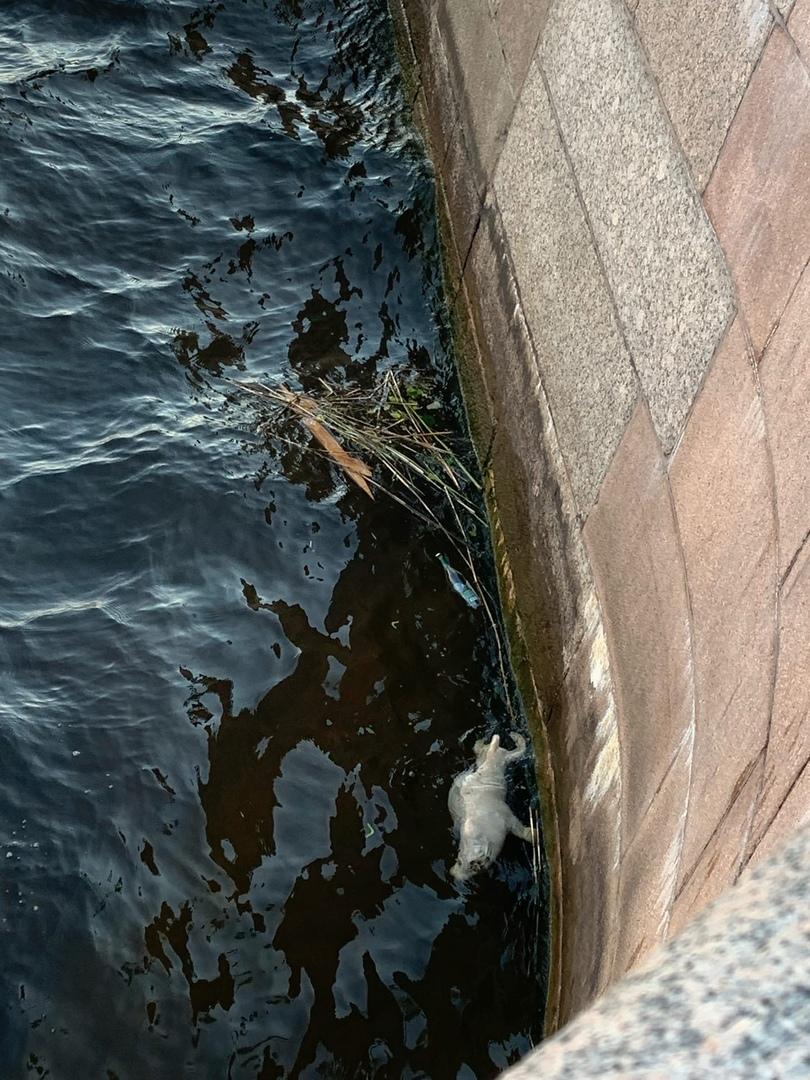 На фонтанке труп нерпы плавает вместе с мусором скорее в его попала под винты туристических судов.