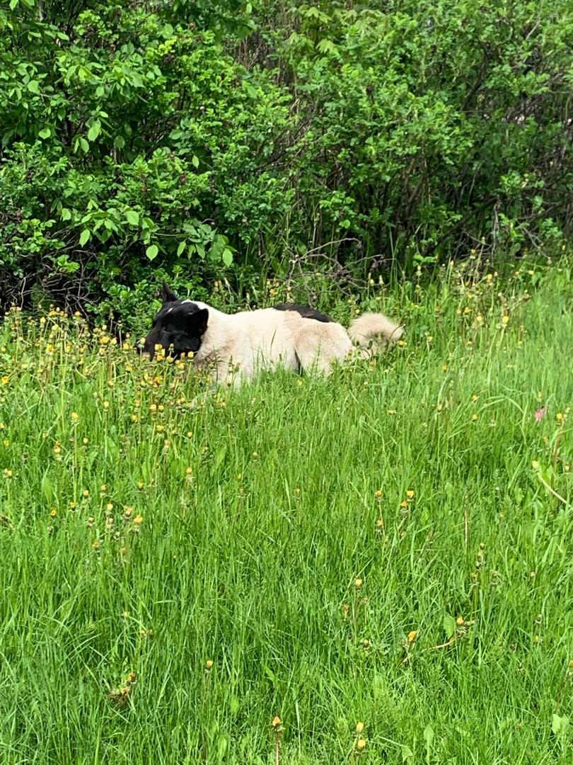 Сбили собаку, вроде бездомный, но добрый, лежал на дороге, сам перешел к кустам. Может быть чей-то? ...