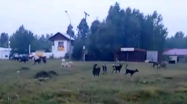 Стаи собак в 10 микрорайоне Усть-Илимска