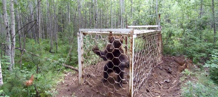 Медведь, незаконно пойманный браконьерами