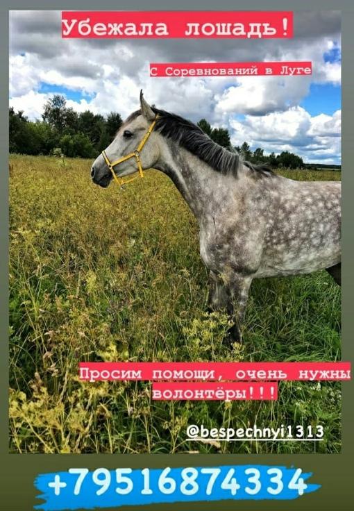 Вчера с соревнований в Луге убежала Лошадь! Может кто увидит или уже видел, позвоните пожалуйста....