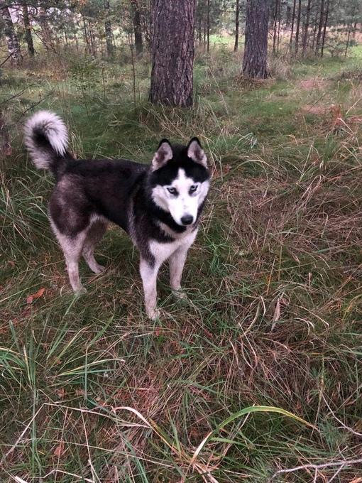 Найдена собака породы Хаски в Всеволожском районе, дер. Проба. Кобель, ориентировочно около 2-3 лет....