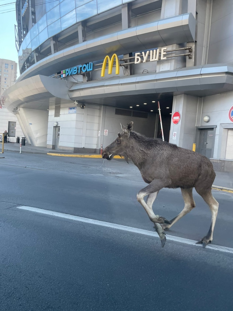С Парашютной лось забежал перекусить на Комендандскую площадь