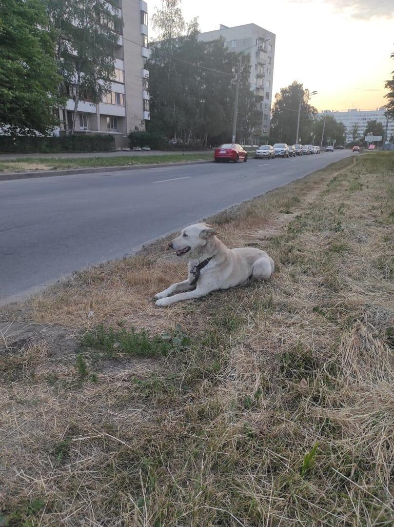 Найдена собака, мальчик в ошейнике с большим карабином, людей не боится но подпускает к себе с опаск...