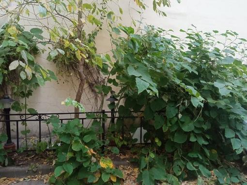 От осеннего тепла в Петербурге зацвела Сахалинская гречиха, в Саперном переулке