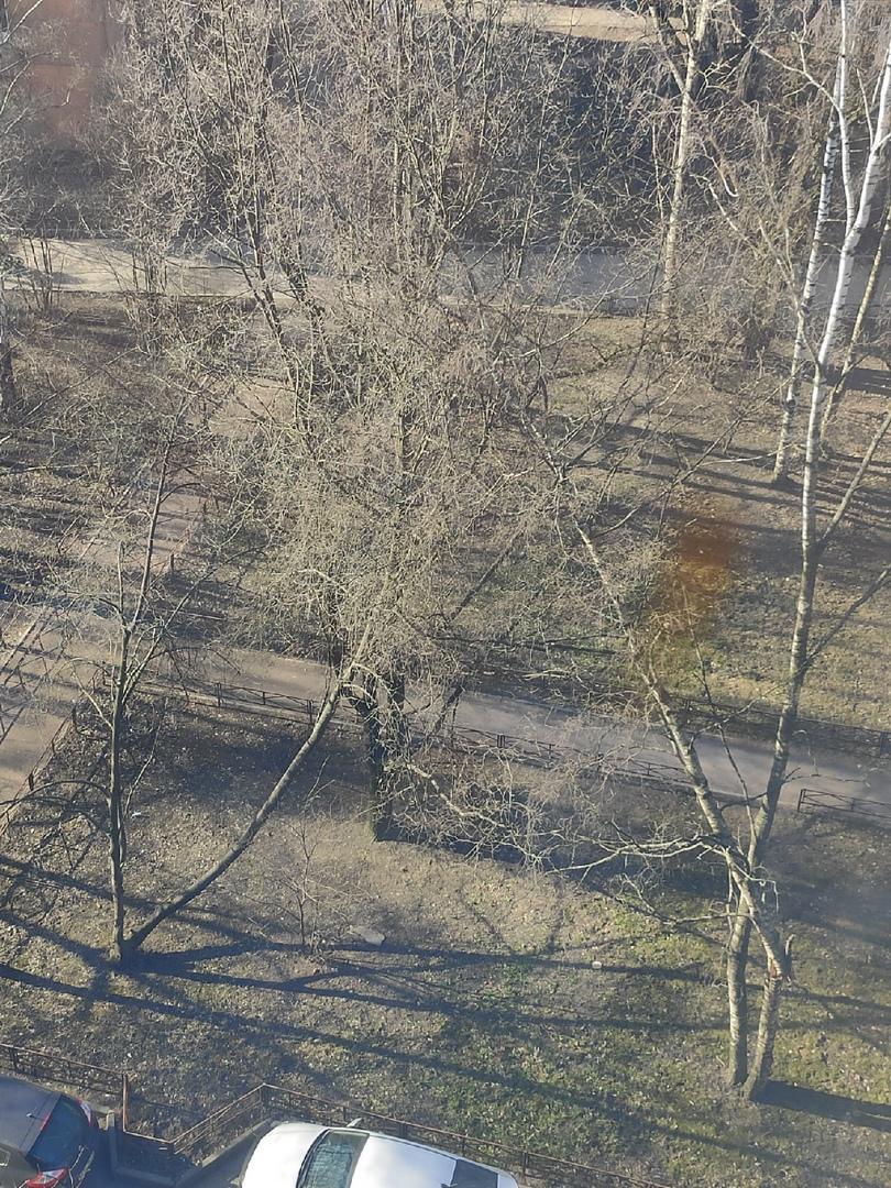 Дерево сломалось и повисло на ветвях другого дерева во дворе на проспекте Народного Ополчения 131. М...