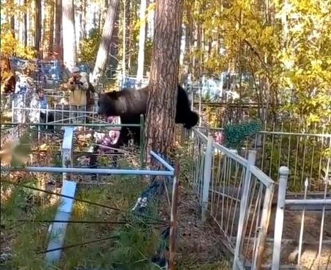 Медведь на кладбище в Усть-Илимске