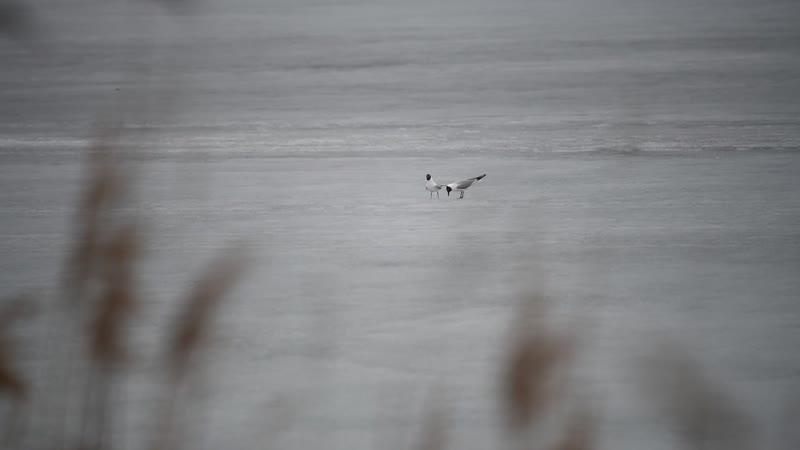 Партнер озерной чайки ухаживает за своей избранницей