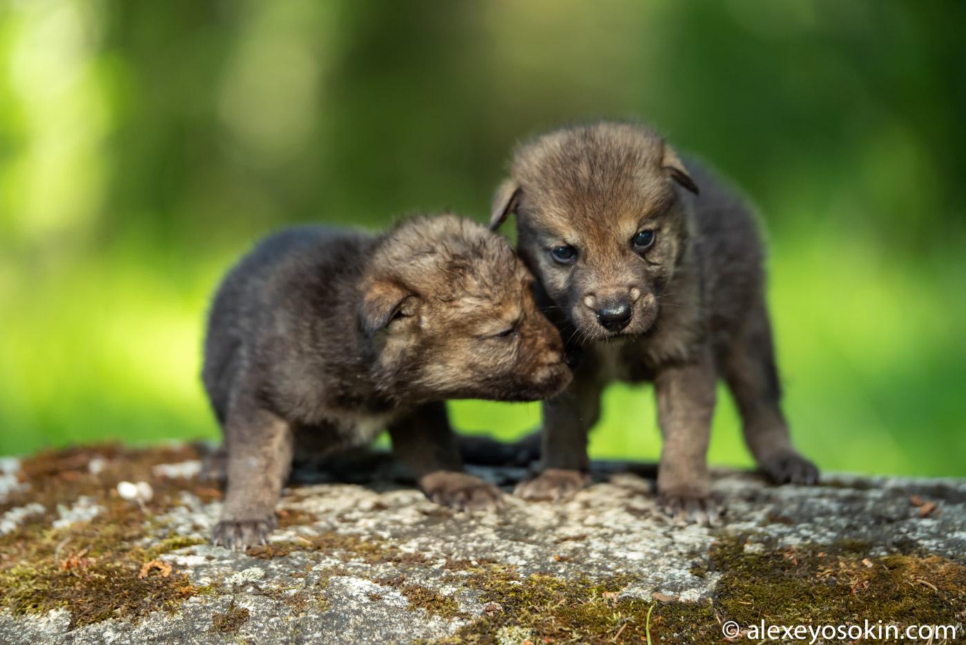 05DE0iQpikE - Фото новорожденных волчат