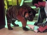 Тигр знакомится с автомобильным пылесосом