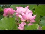 ハスの花、見頃を迎える=秋田市